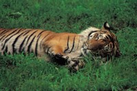 Tiger picture PH7800697