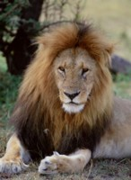 Lion picture PH7800880