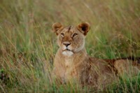Lion picture PH7801155