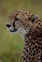 Cheetah picture PH7801369
