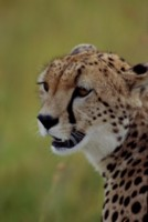 Cheetah picture PH7801412