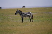 Zebra picture PH7801479