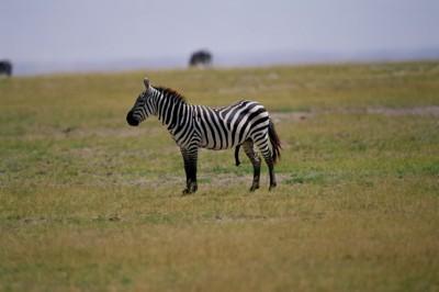 Zebra poster PH7801479