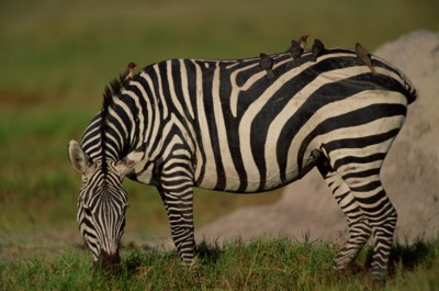 Zebra poster PH7801520