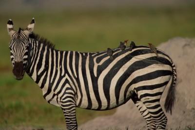 Zebra poster PH7801555