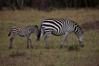 Zebra poster PH7801716