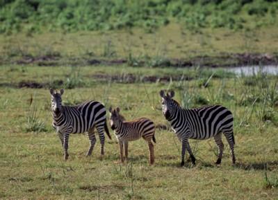 Zebra poster PH7801923