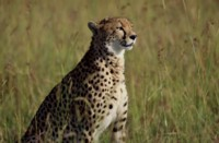 cheetah picture PH7801928