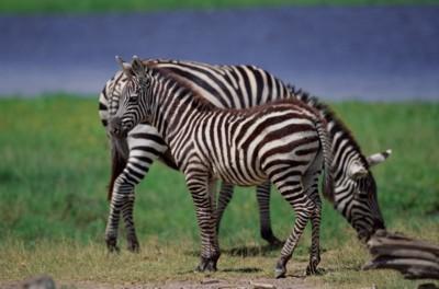 Zebra poster PH7801966