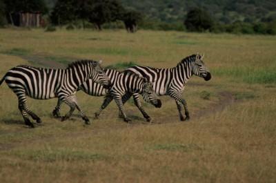 Zebra poster PH7802102