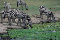 Zebra picture PH7802136