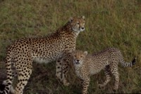 cheetah picture PH7802235