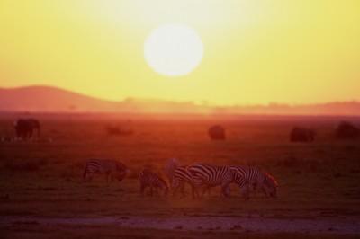 Zebra poster PH7802246