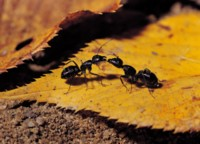 Ant picture PH7802895