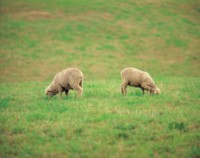 Sheep picture PH7803959