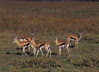 Antelope & Gazelle picture PH7805062