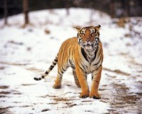 Tiger picture PH7805570