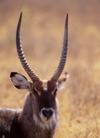 Antelope & Gazelle picture PH7809286