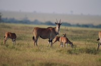 Antelope & Gazelle picture PH7809798