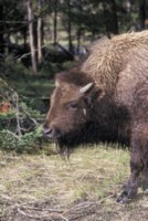 Buffalo & Bison picture PH9812660