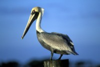 pelican picture PH9813487