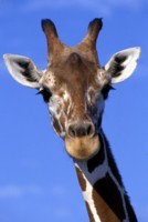 Giraffe picture PH9822122