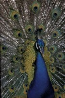 Peacock picture PH9830259