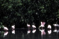 Spoonbill picture PH9830318