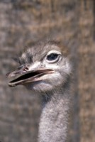 ostrich picture PH9853935