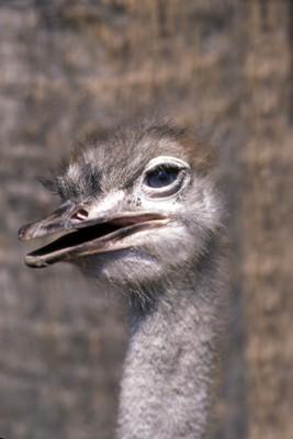 ostrich poster PH9830343
