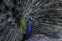 Peacock picture PH9830366