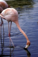 flamingo picture PH9830821