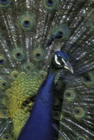 peacock picture PH9851580