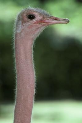 Ostrich poster PH9851716