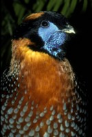 pheasant picture PH9851879