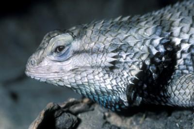 lizard poster PH9853611