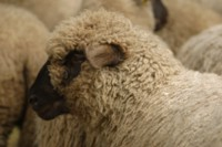 Sheep picture PH9933908